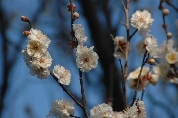 100208 梅の花をアップで.jpg