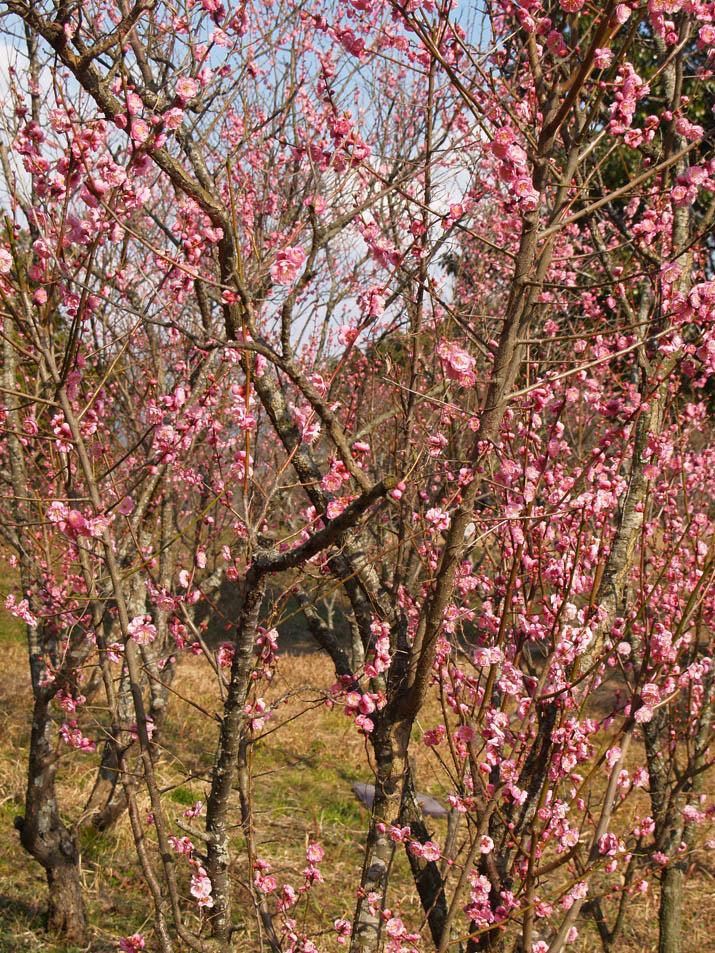 100220 開花の進む梅の花.jpg