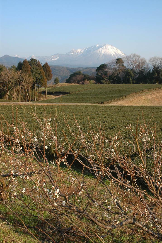 100224 梅と茶畑と大山.jpg