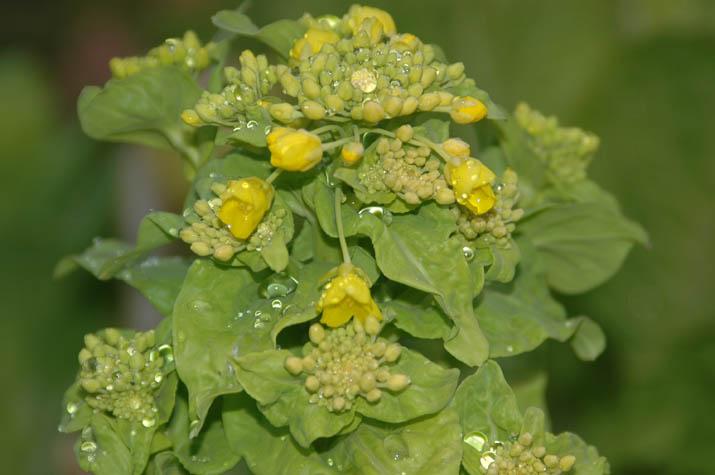 100302 黄色い菜の花.jpg