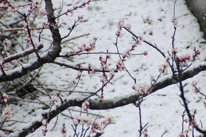 100309 花にも積もる雪.jpg