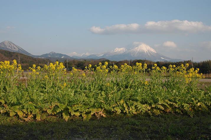100311 菜の花と大山jpg