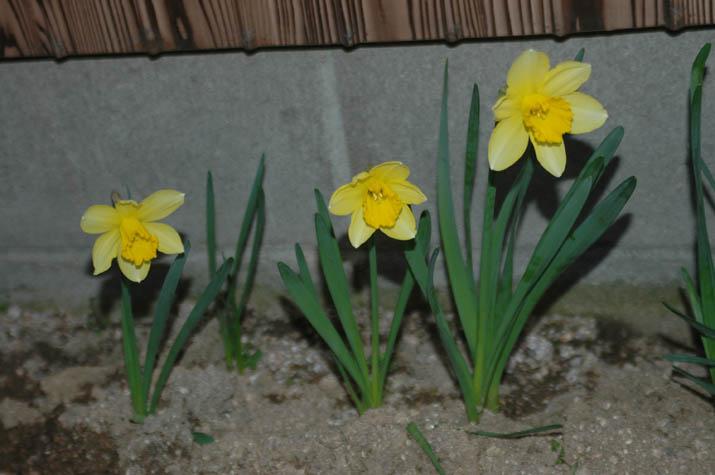 100316 黄色い花.jpg