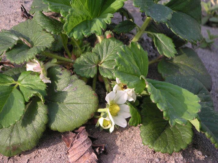 100320 苺の花.jpg