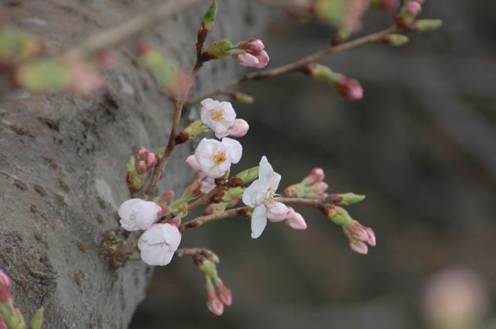 100321 日吉神社の桜 2010年 開花.jpg
