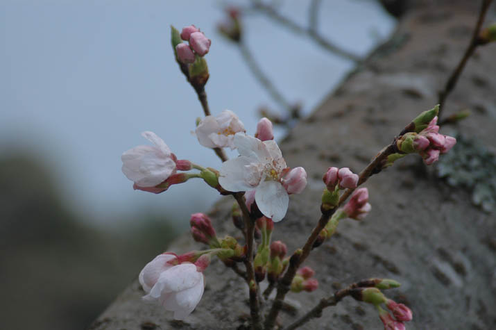 100323 桜が開花 日吉神社.jpg