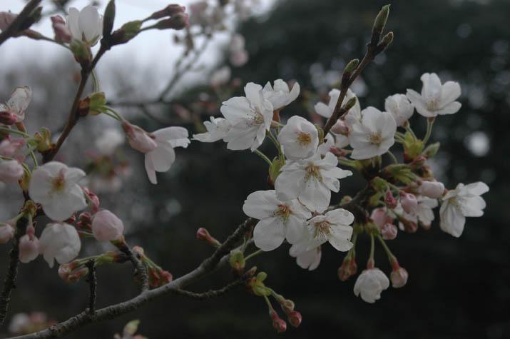 100327 桜の開花状況.jpg