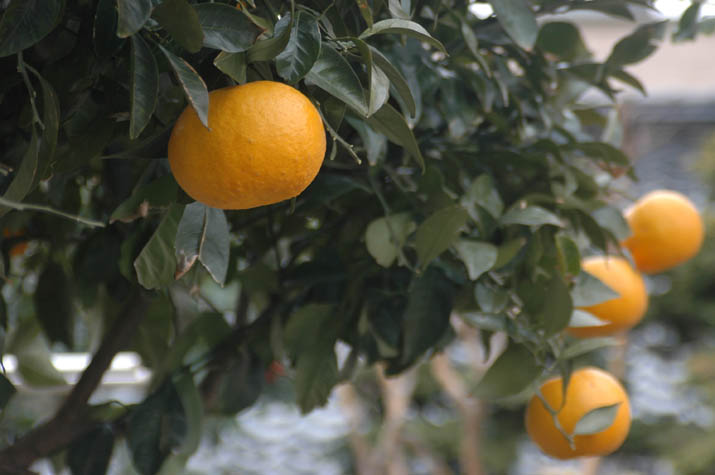 100328 オレンジ色のミカンjpg