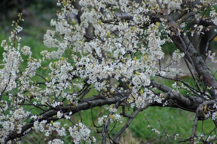 100329 白い花の咲く木.jpg