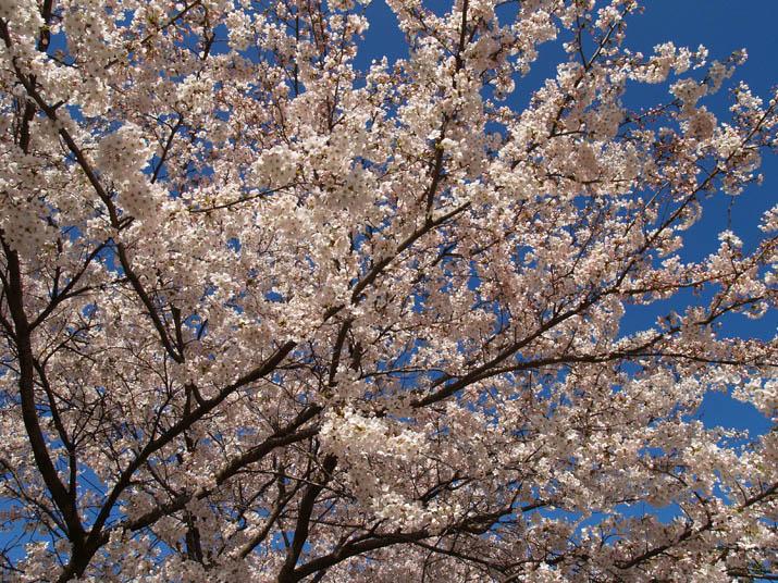 100402 青空と満開桜.jpg
