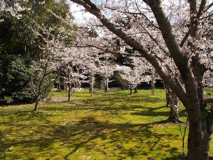 100402 日吉神社の満開桜.jpg