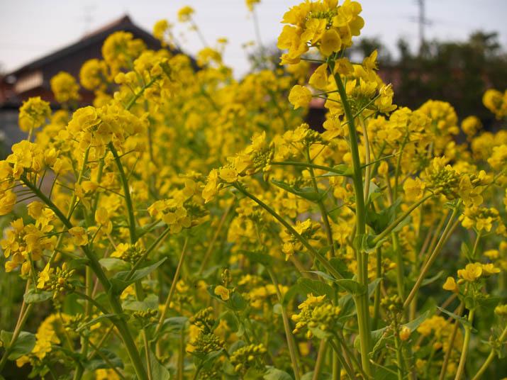 100405 黄色い菜の花畑.jpg
