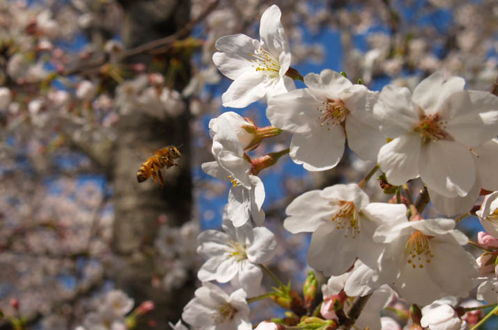 100407 桜の蜜を集めるミツバチ.jpg