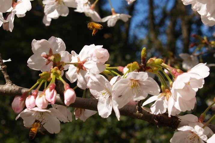 100407 桜とミツバチ.jpg