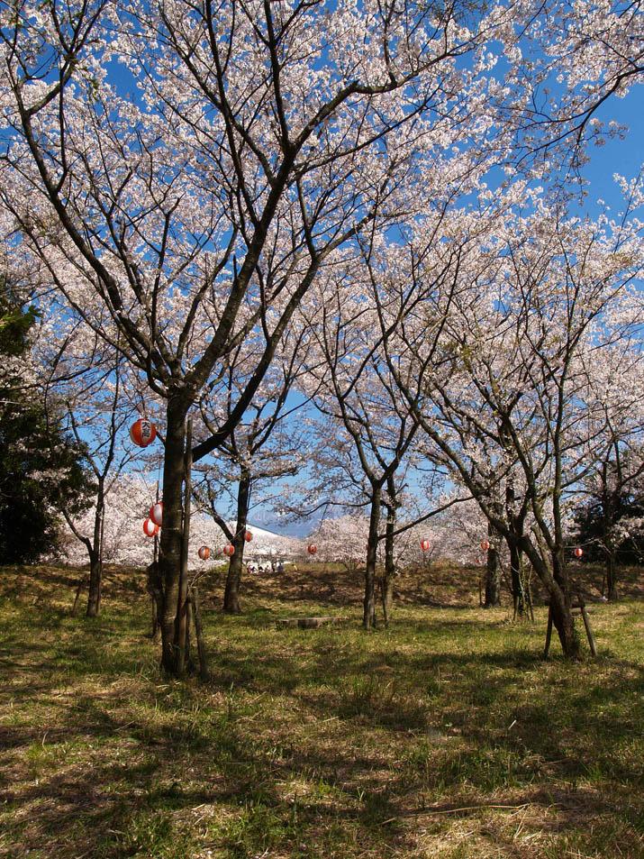100409 旧米子ハイツの桜.jpg