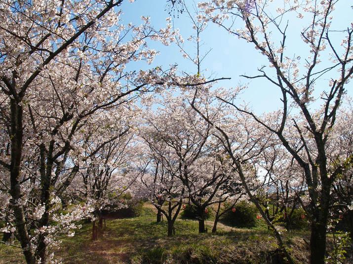 100409 シャトー尾高の桜.jpg
