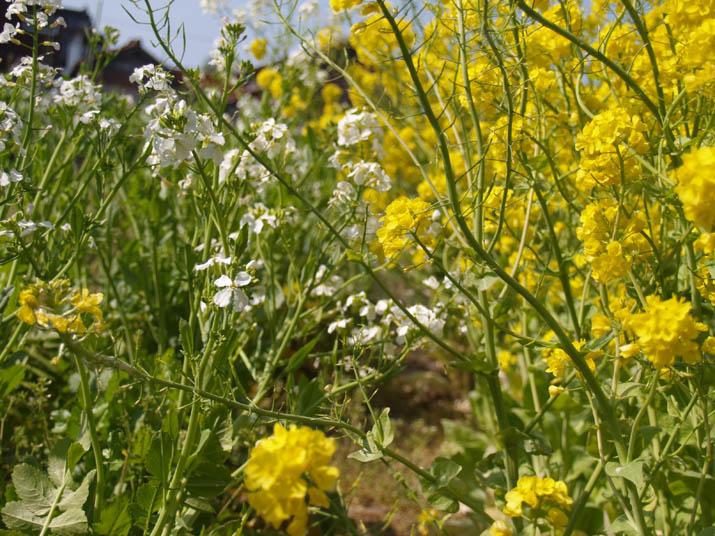 100417 ダイコンの花と白菜の花.jpg