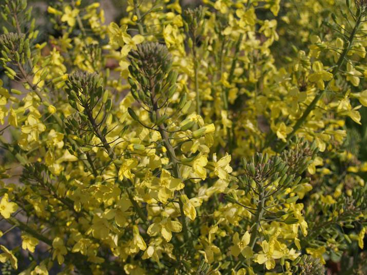 100418 キャベツの花.jpg