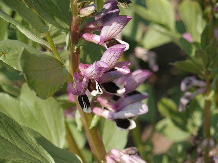 100418 空豆の花.jpg
