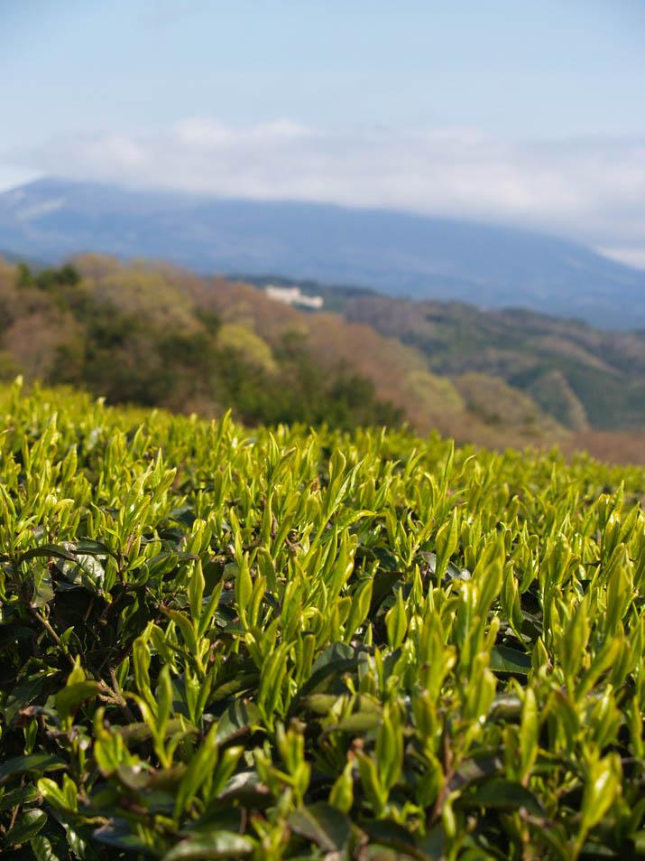 100421 壺瓶山の茶畑.jpg