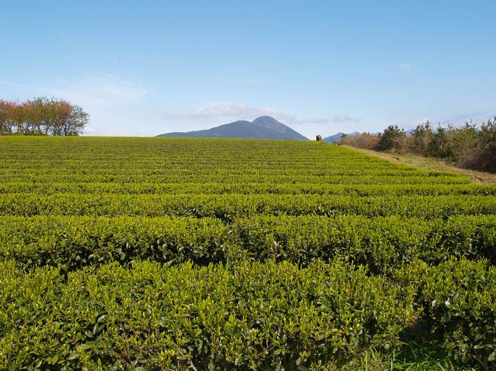 100422 一面の茶畑 壺瓶山 .jpg