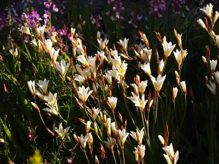 100430 花壇に咲く白い花.jpg