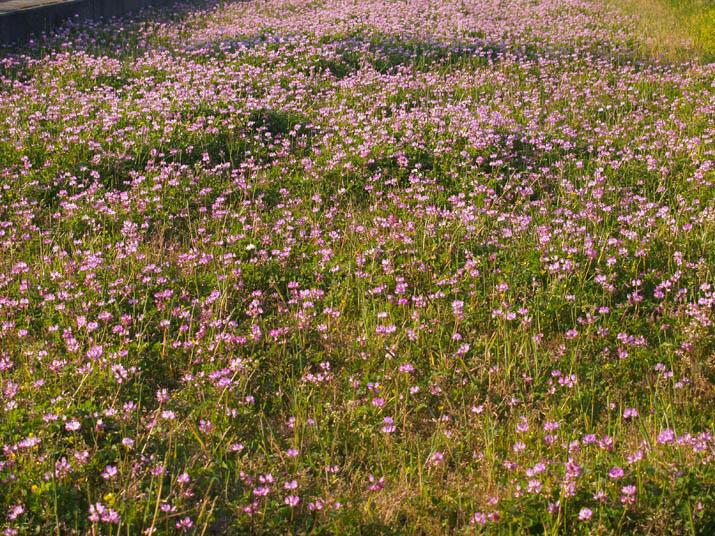 100501 レンゲの花.jpg