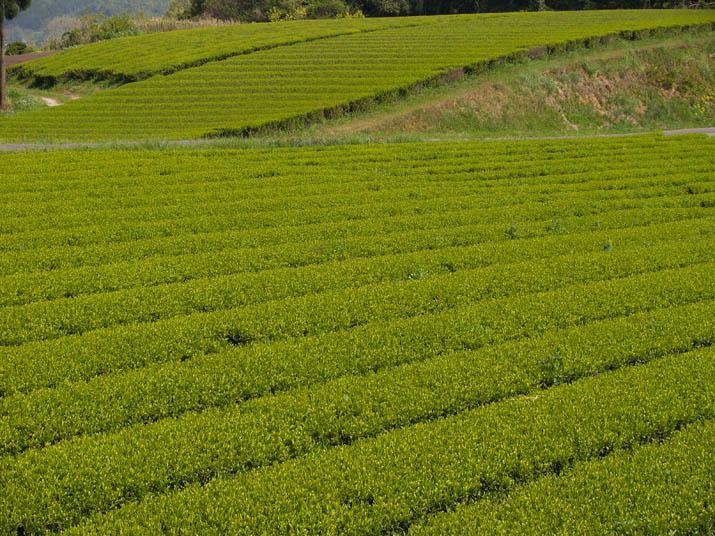 100503 壺瓶山の茶畑.jpg