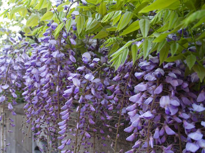 100505 庭先にある藤の花.jpg
