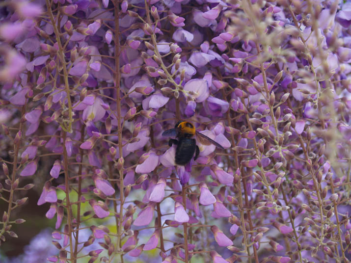 100505 藤の花とクマバチ.jpg