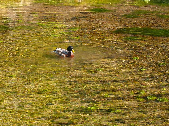 100511 本宮の泉に住むカモ.jpg