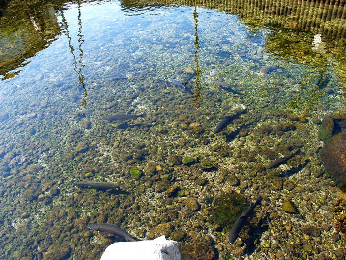 100511 本宮の泉のニジマス.jpg