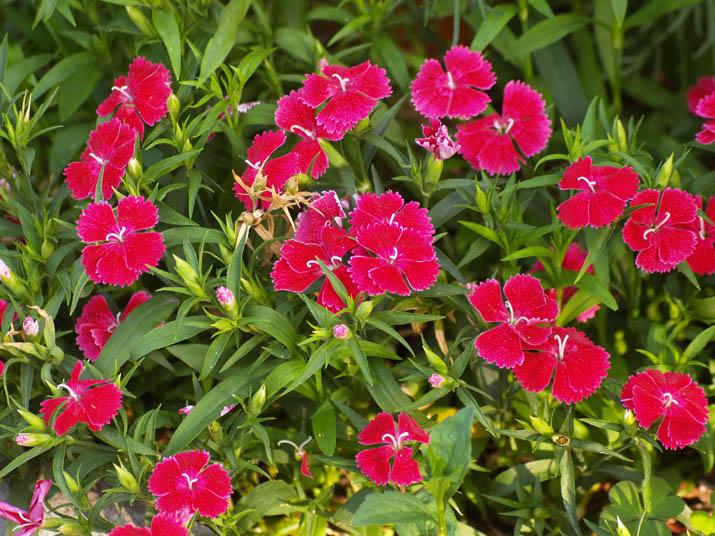 100520 真っ赤な花.jpg