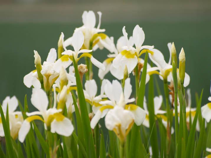 100522 白い花.jpg