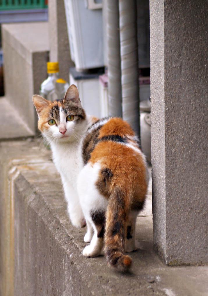 100525 淀江町小波の迷い猫 三毛.jpg