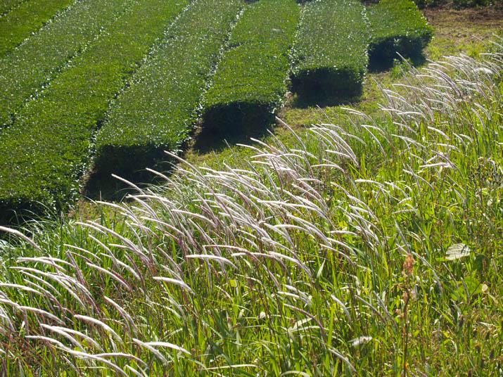 100529 茶畑と・・.jpg