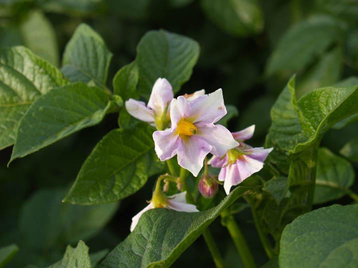 100531 ジャガイモの花.jpg