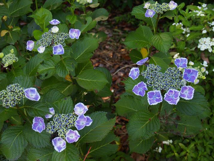 100618 紫陽花.jpg