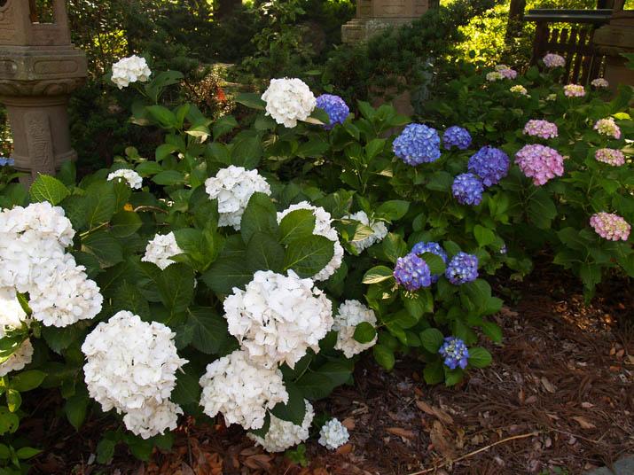 100626 白青赤の紫陽花.jpg