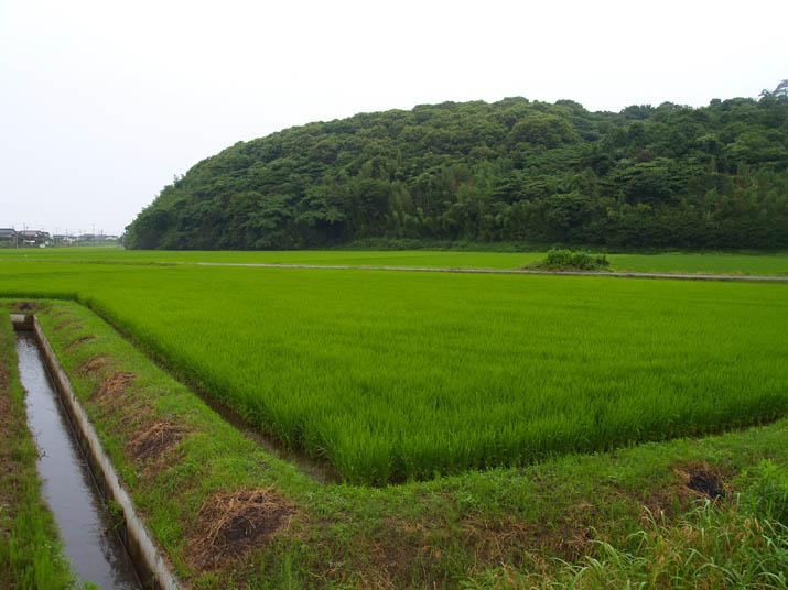 100713 緑の増えた田んぼ.jpg
