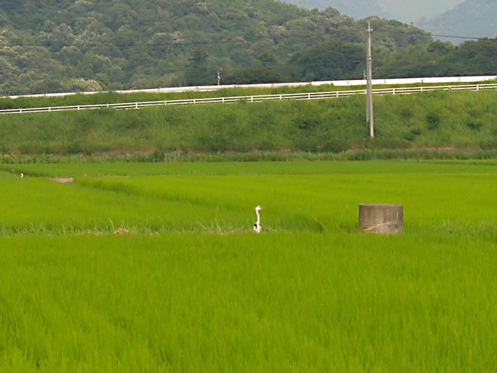 100731 田園の鷺.jpg
