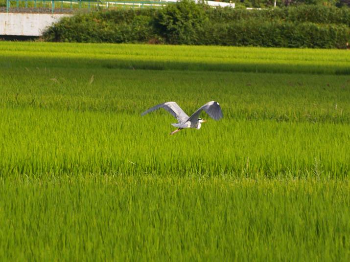 100809 緑の稲とアオサギ.jpg