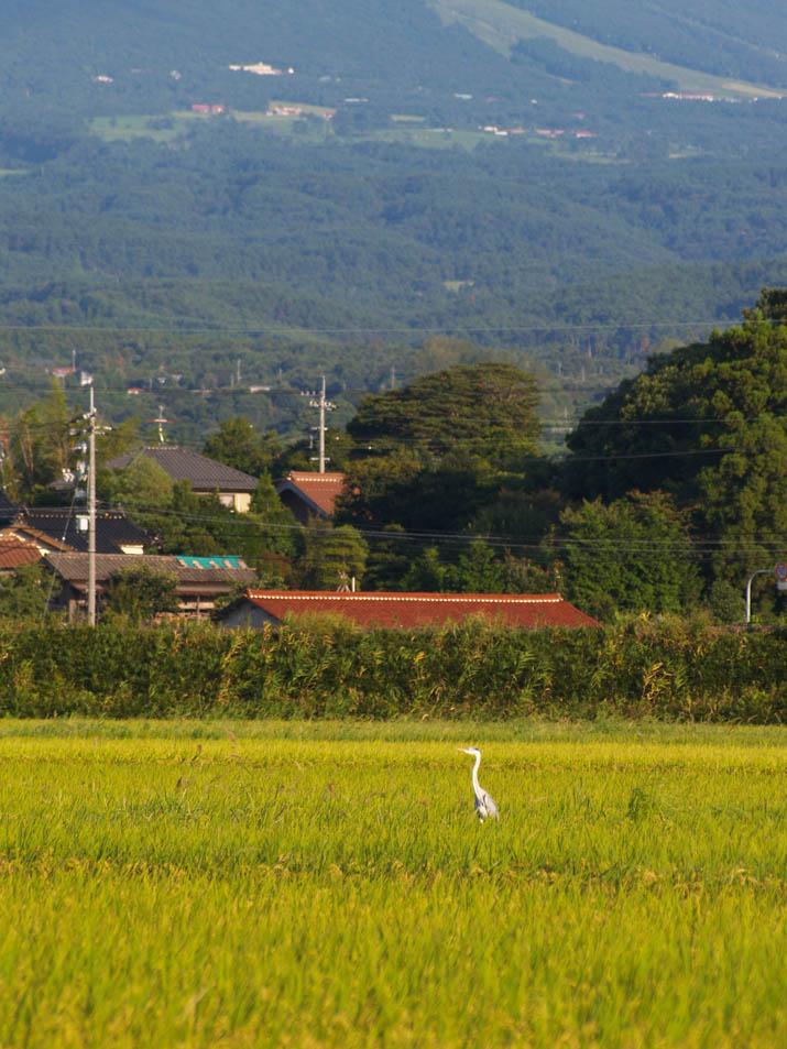 100831 稲と鷺と大山と.jpg