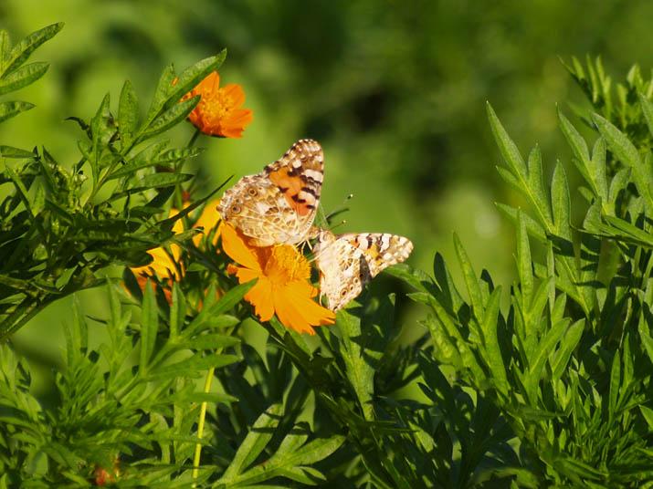 100901 蝶の求愛.jpg