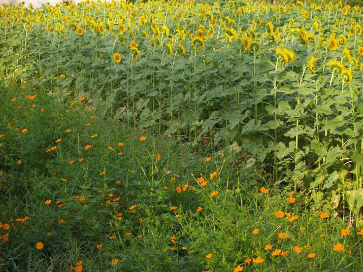 100921 満開のひまわりとオレンジ色の花.jpg