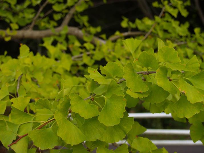 100929 イチョウの葉.jpg