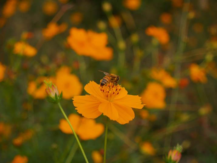 101014 オレンジ色のコスモスとミツバチ.jpg