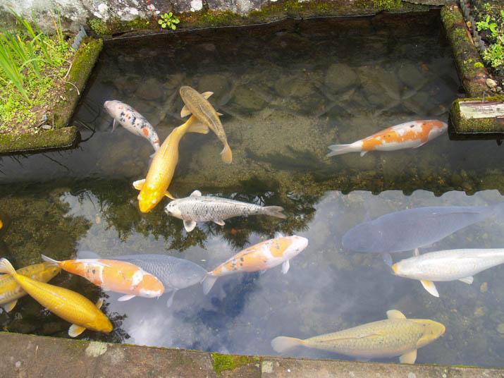 101115 津和野の鯉.jpg