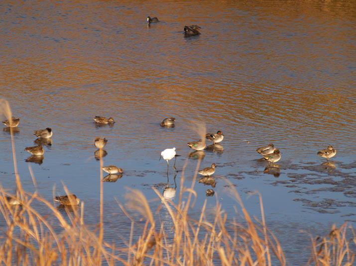 101219 佐陀川の野鳥jpg