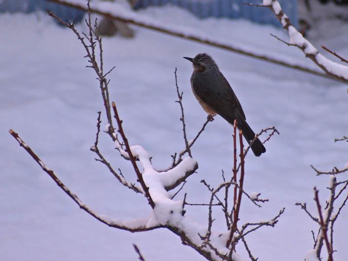 101225 雪でも元気な鳥.jpg